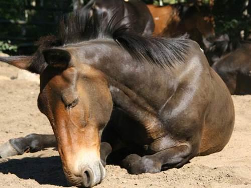 rem-schlaf pferd brustlage. tief schlafendes pferd