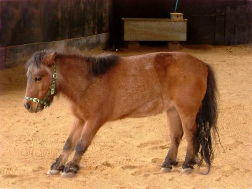 hufrehe, laminitis, hufrehe stellung, pony hufrehe, ausschuhen