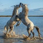 steigende hengste, kämpfende hengste, camargue pferde, schimmel