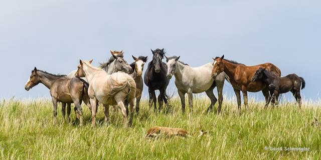 pferdherde bewacht schlafendes fohlen, mustangs, herde pferde