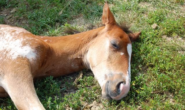 schlafendes fohlen, pferde schlaf, pferd liegt, pferdeherde schlaf