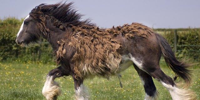 pferde haarwechsel, wie pferd im haarwechsel unterstützen, tinker