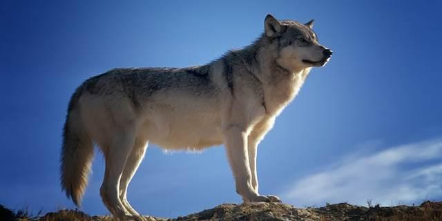 pferde und wölfe, rückkehr wölfe, wolf beute pferd, angst vor wölfen, wölfe hunde
