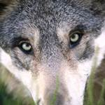 pferdehalter wölfe, wolf reißt pferd, wolf pferd, wolf fohlen, wolf angst, wolf frisst hund
