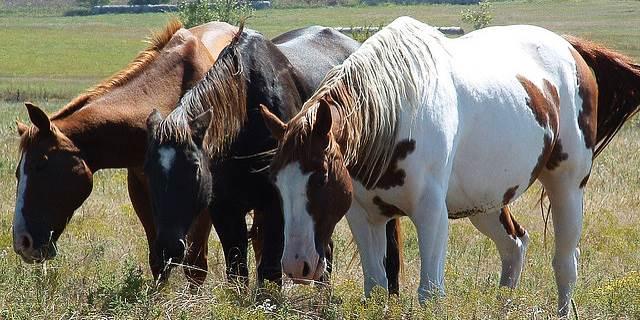weidehaltung pferde, fruktan gras hufrehe, grasbauch, schecken