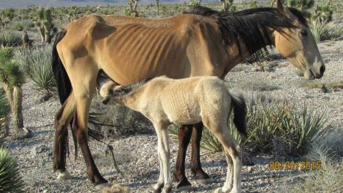 mustang, pferde stoffwechselkramkheit, hufrehe