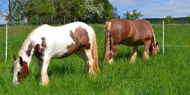 insulinresistenz pferd, hufrehe pferd, hufrehe pony, pferdekoppel, pferdeweide