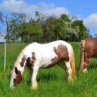 pferde auf der weide, ems pferd, ems pony