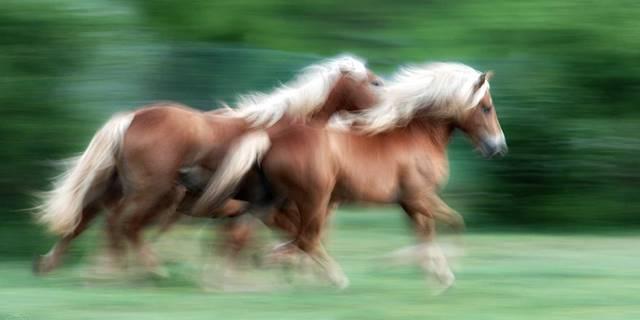 haflinger pferde, pferd und reiter, haflinger weide, koppel gras