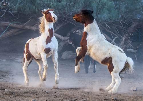 steigende pferde, spielende pferde, pintos, schecken, gescheckte pferde