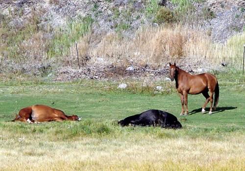 liegende Pferde, Mustangs, Pferdherde
