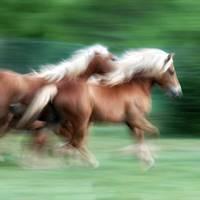 haflinger herde, glückliches pfer, gesundes pferd