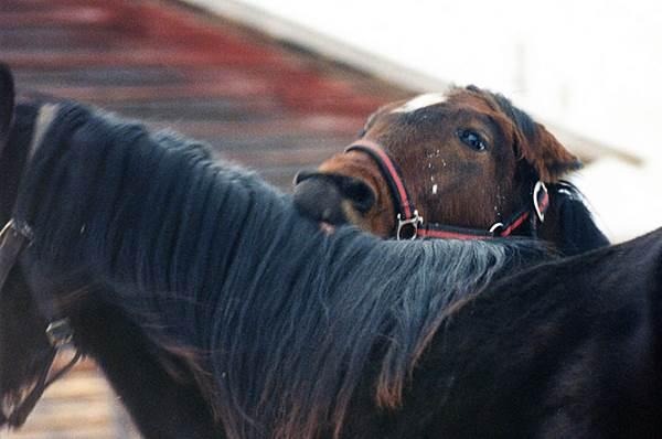 pferdebiß, aggressives pferd, offenstall, paddock paradise