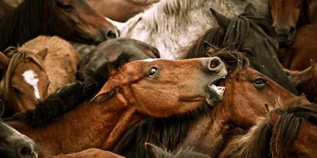 pferdeherde, individualdistanz pferd, pferdeaggression, aggressiver hengst
