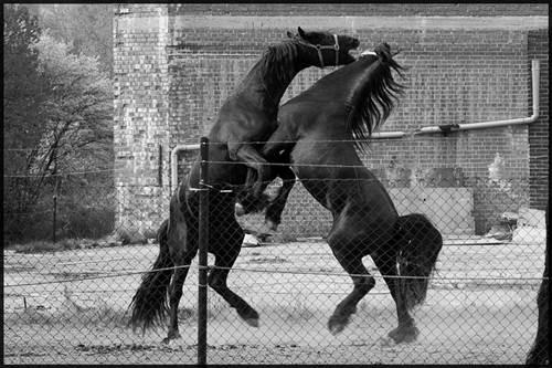 steigende Pferde, friesen hengste, aggressive pferde