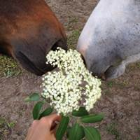 ist holunder giftig für pferde, holunder fliegen pferde